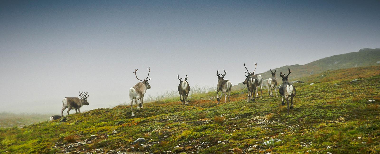 Rein på Snåsafjellet Foto Olgeir Haug